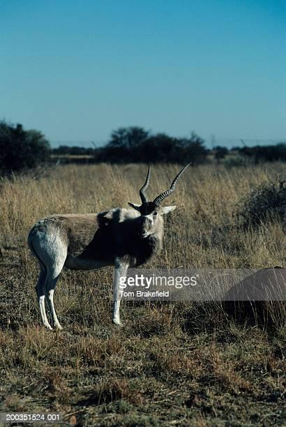 Addax, Africa
