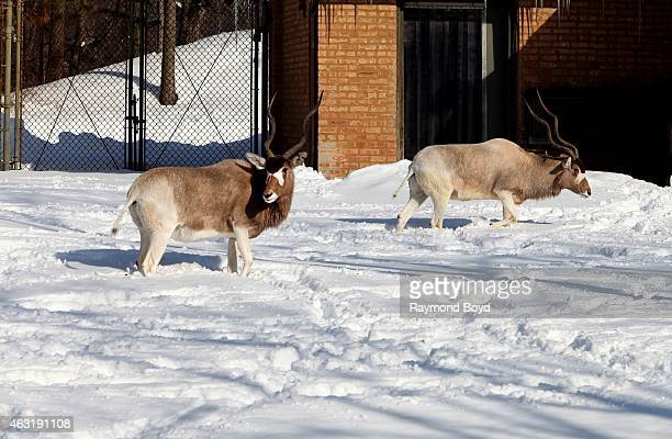 Addax at Brookfield Zoo in Brookfield Illinois on FEBRUARY 7 2015