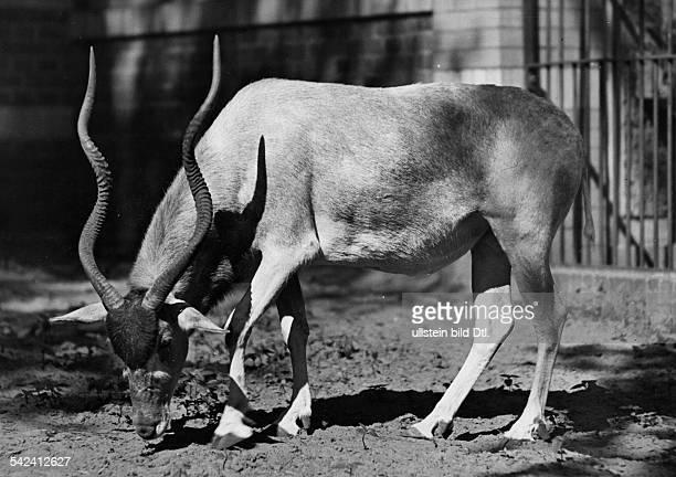 Addax Berlin Zoological Garden 1955 Photographer Friedrich Seidenstuecker Vintage property of ullstein bild