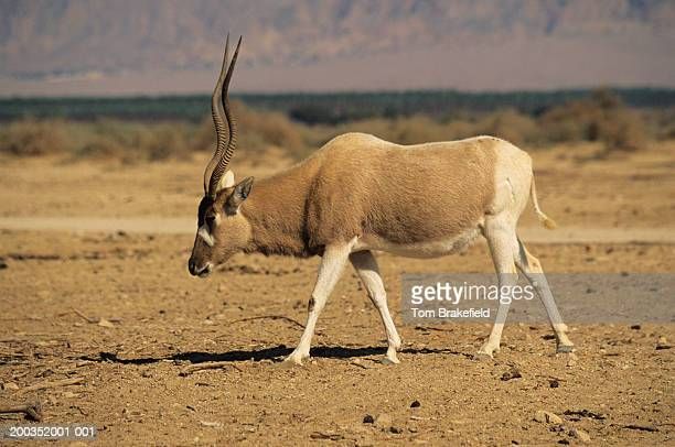 Addax (Addax nasomaculatus), Israel