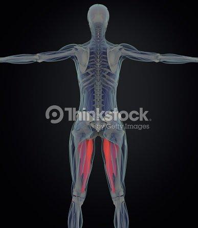 Magnus Del Aductor Anatomía Del Músculo Femenino Músculos De La ...