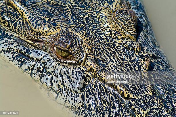 A bloodsucking fly feeds on the menacing eye of a Saltwater Crocodile.