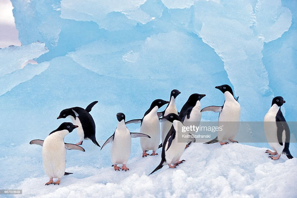 Adele Penguins on Ice : Stock Photo