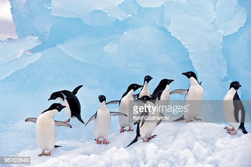 Adele Penguins on Ice