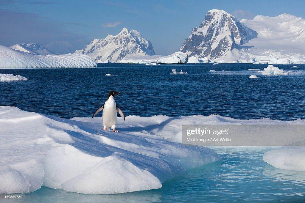 Adelie penguin, Antarctica : Stock Photo