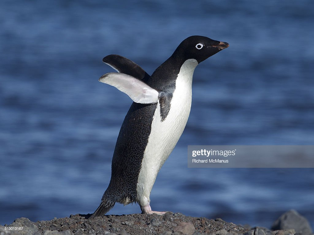Adelie Penguin displaying