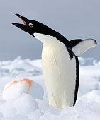 Adelie Penguin on iceberg, ice floe in the southern ocean, 180 miles north of East Antarctica, Antarctica