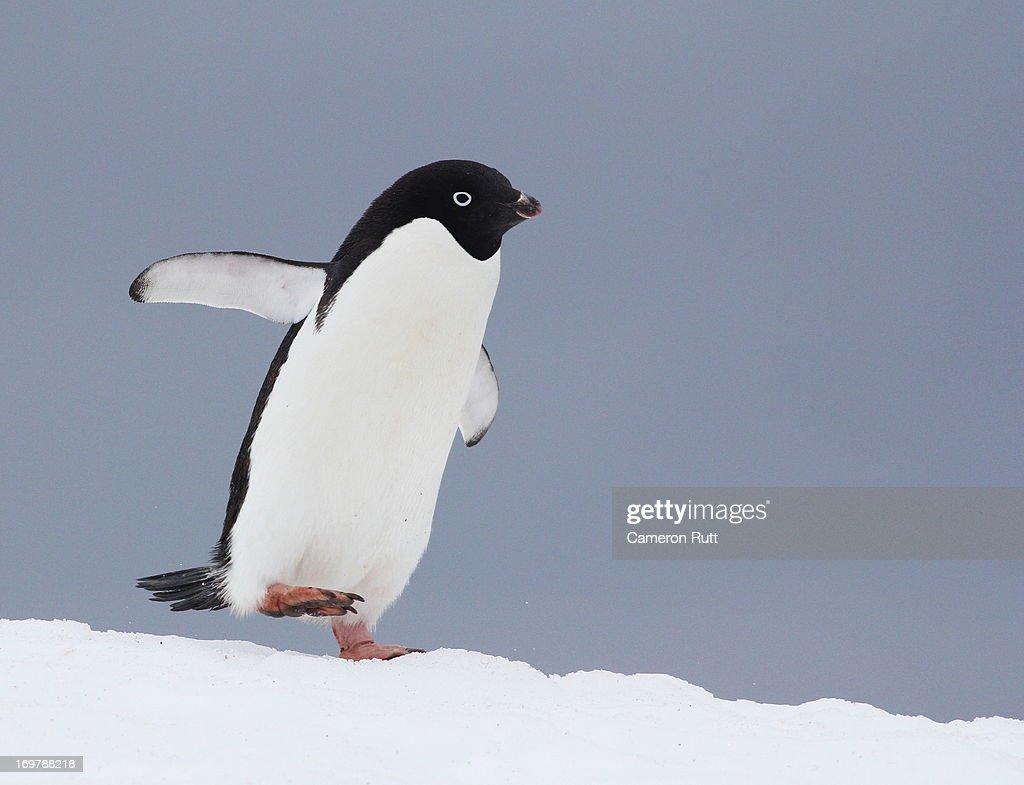 Adelie Penguin (Pygoscelis adeliae) on snowfield