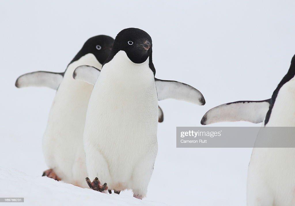 Adelie Penguin (Pygoscelis adeliae) procession : Stock Photo