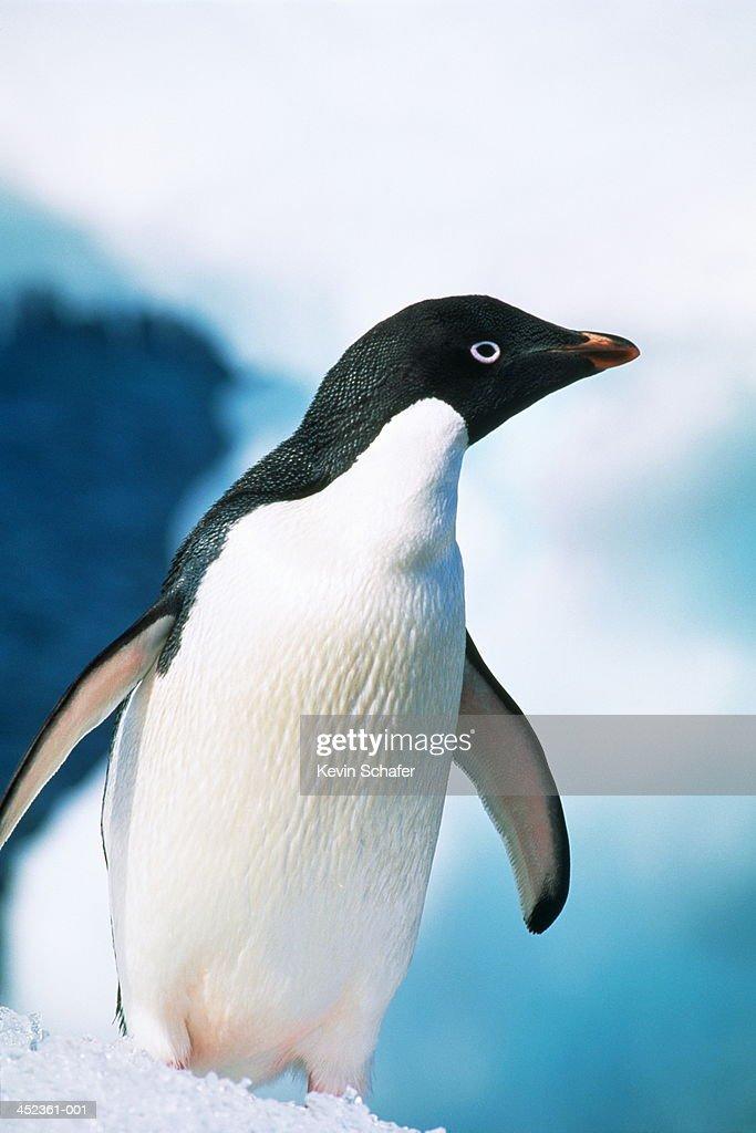 Adelie penguin (Pygoscelis adeliae) standing on ice, Antarctica