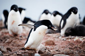 Adelie Penguin with Pebble