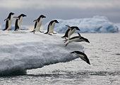 Adelie Penguins (Pygoscelis adeliae) diving into sea off iceberg