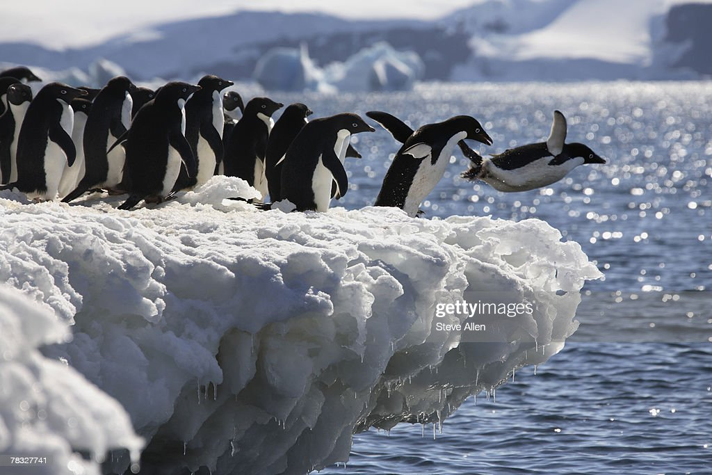 Adelie penguins diving into the sea in Antarctica : Stock Photo