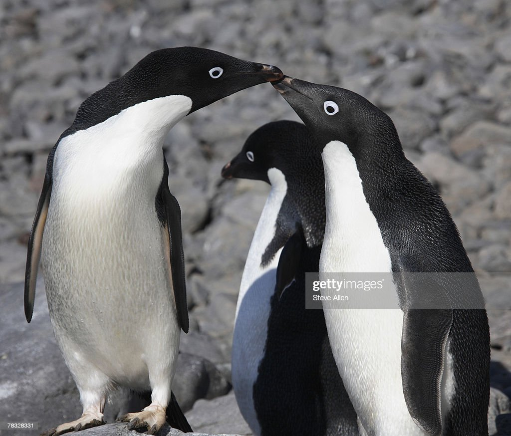 Adelie penguins in Antarctica : Stock Photo