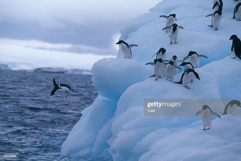 Adelie Penguins Jumping into Water