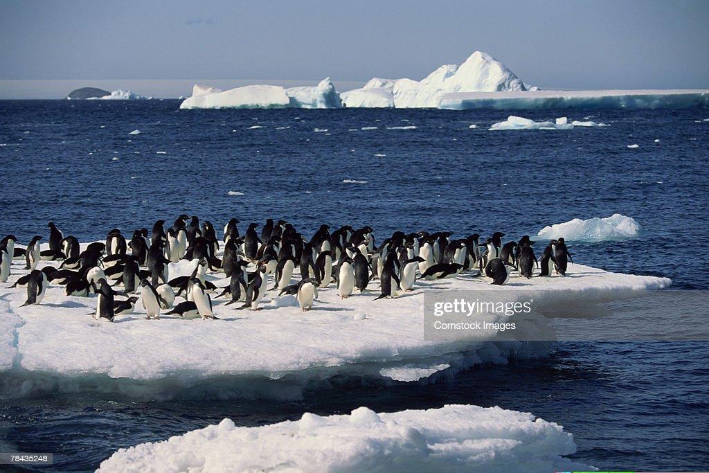 Adelie penguins on iceberg , Antarctica