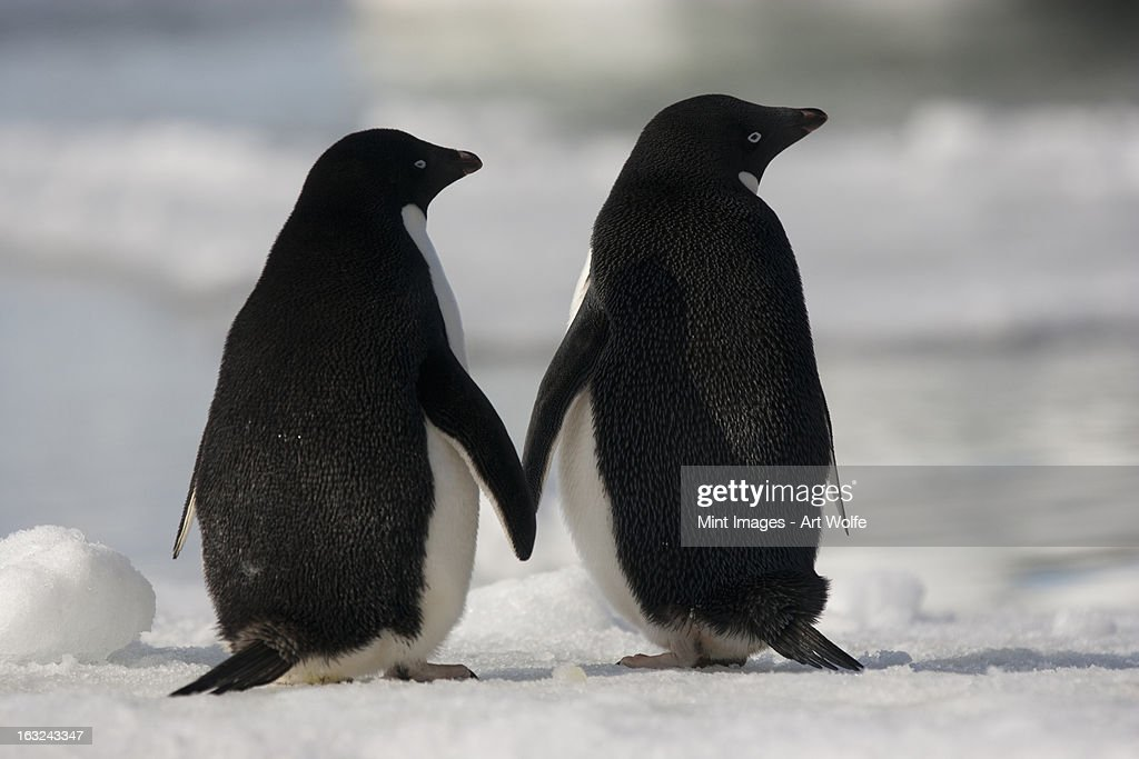 Adelie penguins standing side by side touching flippers on Paulet Island, Antarctica