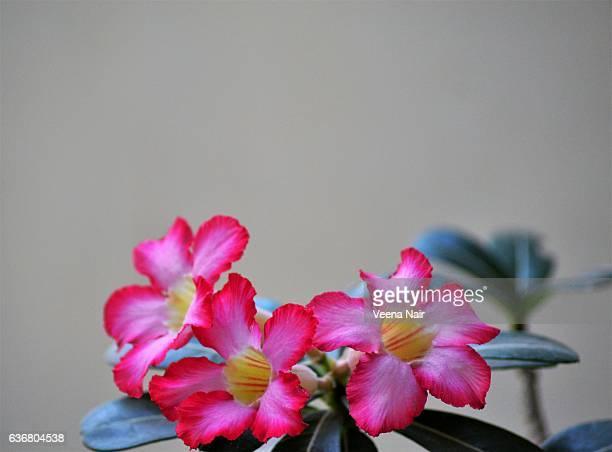 Adenium obesum-Desert rose flowers