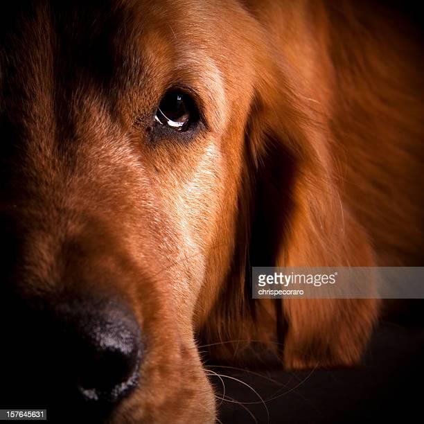 Adottate un animale domestico-Golden Retriever