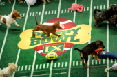 **Embargoed til 2/5/2013** NEW YORK CITY NY NOVEMBER 11 Adoptable puppies play during the taping of Animal Planet's 'Puppy Bowl IX' program in New...
