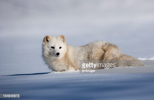 Adorable arctic fox in a field of snow.