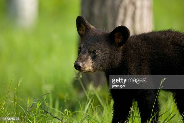 Adorable black bear cub in late spring.