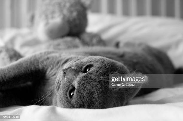 Adorable British Short hair kitten with bright eyes rolling on bed