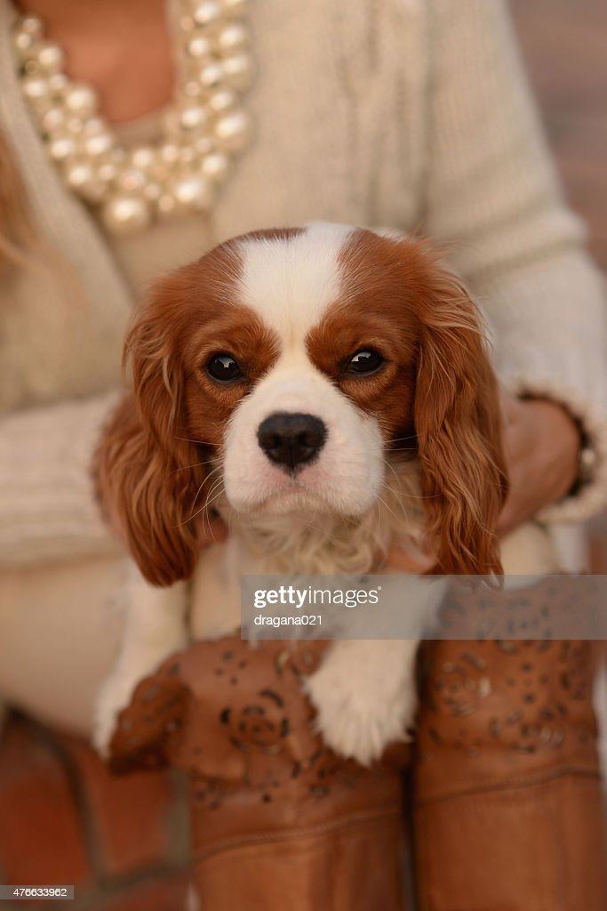 Cool King Charles Brown Adorable Dog - adorable-cavalier-king-charles-spaniel-young-dog-looking-at-camera-picture-id476633962?s\u003d170667a\u0026w\u003d1007  Gallery_782865  .com/photos/adorable-cavalier-king-charles-spaniel-young-dog-looking-at-camera-picture-id476633962?s\u003d170667a\u0026w\u003d1007