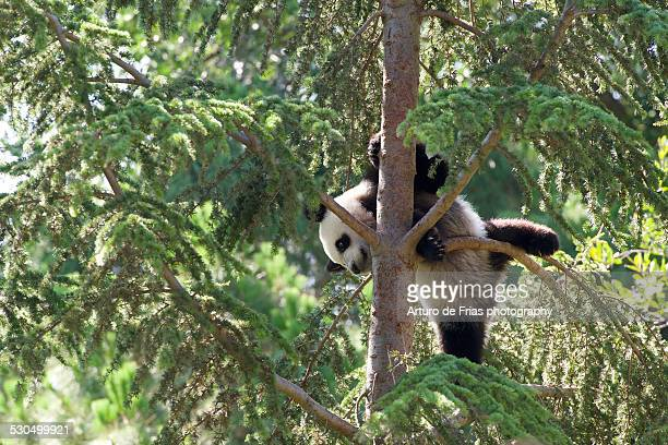 Adorable Giant Panda cub playing in a tree