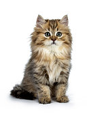 Adorable golden British Longhair cat  isolated on white
