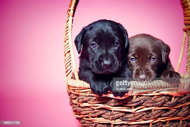 Adorable Labrador Puppies on Pink
