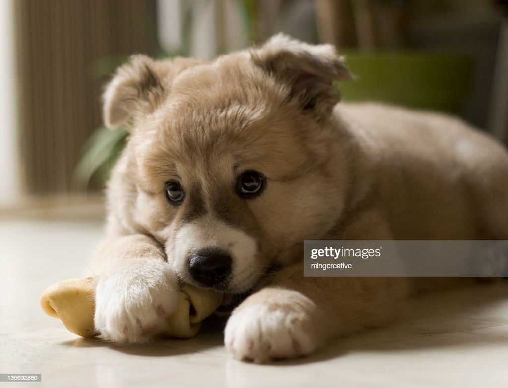 Adorable Puppy Chewing His Bone Stock