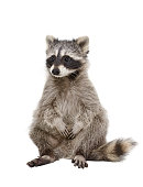 Adorable raccoon Isolated on white background