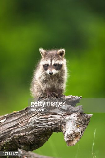 free hq baby raccoon - photo #36