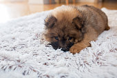 Baby chow dog resting on white rug.