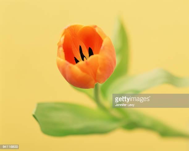 Adrem Tulip