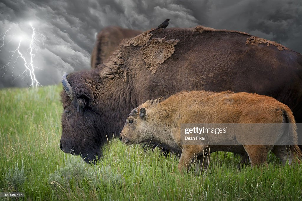 Adult and Baby Bison in a Stormy Meadow