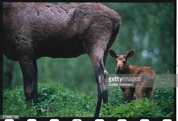 Adult and Baby European Moose