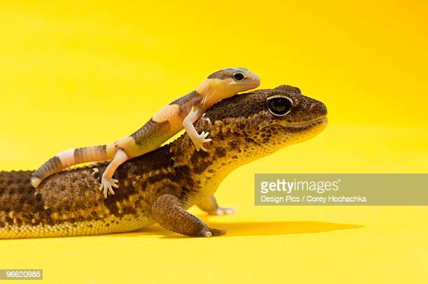 Adult and baby Gecko