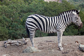 Adult and baby zebra