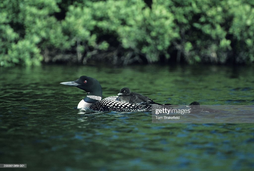 Adult and chick common loons in dark green water, North America : Stock Photo