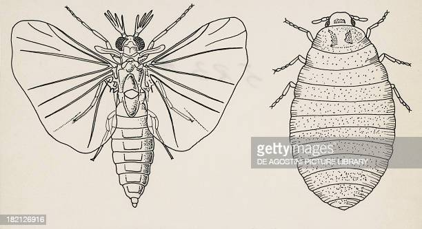 Adult and larval stages Mengenilla quaesita Twistedwing parasites drawing