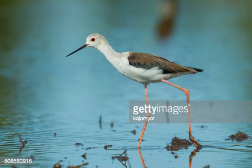 adult Black-winged Stilt(Himantopus himantopus ) : Bildbanksbilder