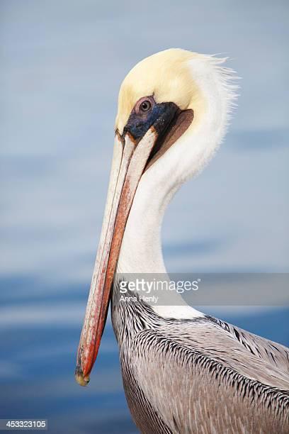 Adult brown Pelican (Pelecanus occidentalis)