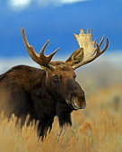Adult Bull Moose. Taken in Grande Teton National Park.