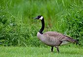 Canada Goose, green,