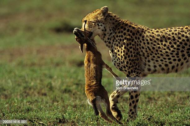 Adult cheetah carrying young Thomson's gazelle