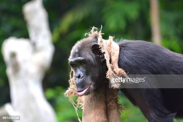 Adult Chimpanzee