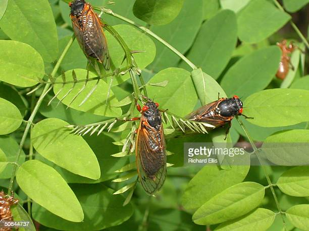 Adult cicadas dry their wings on leaves May 16 2004 in Reston Virginia After 17years living below ground billions of cicadas belonging to Brood X are...