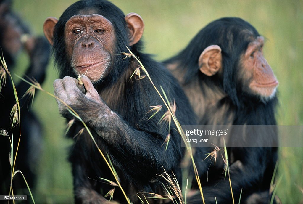 Adult common chimpanzee (Pan troglodytes) eating, close-up : Stock Photo